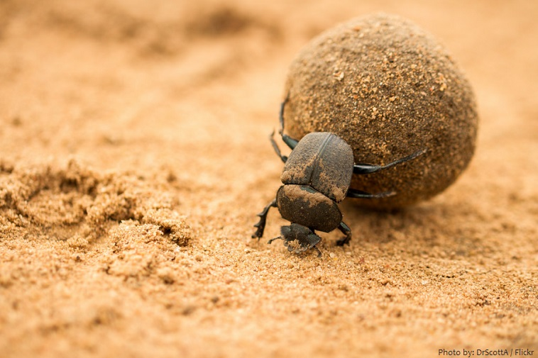 dung-beetle-3