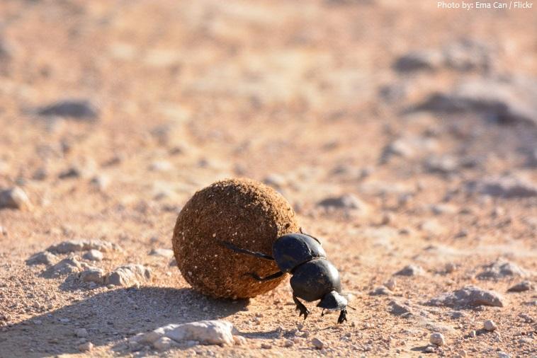 dung-beetle-4