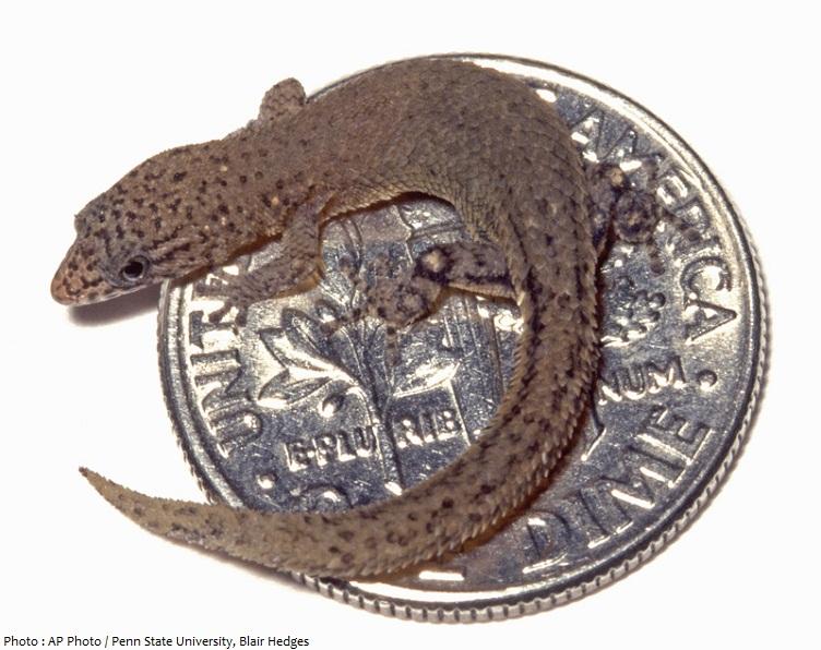 dwarf gecko