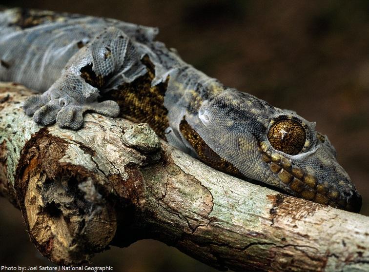 gecko shed skin