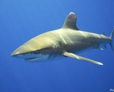 oceanic-whitetip-shark-2
