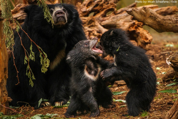 sloth bear cubs