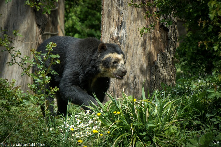 spectacled-bear-2