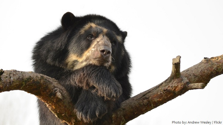 spectacled-bear-3