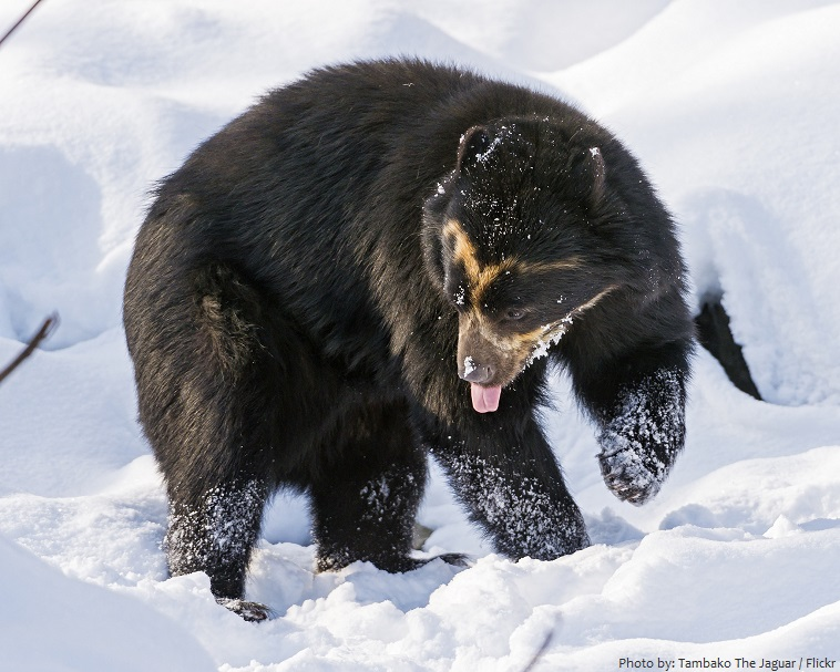spectacled-bear-4