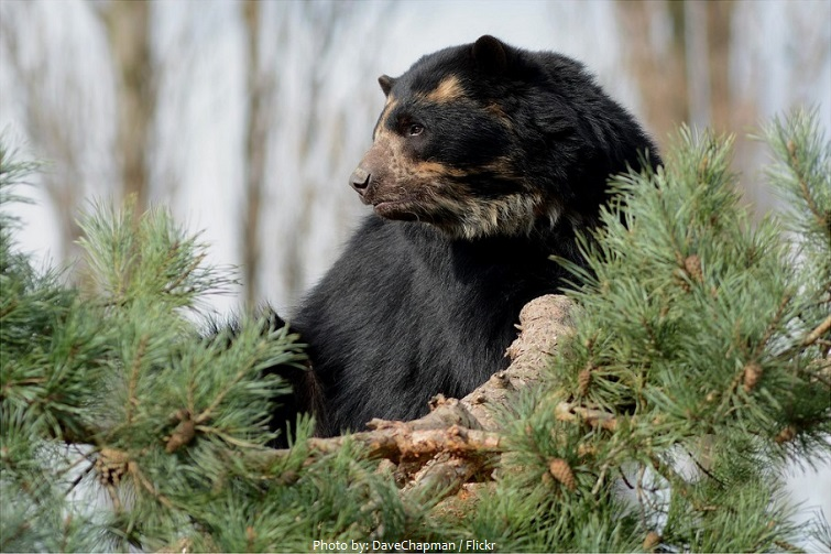 spectacled-bear-5