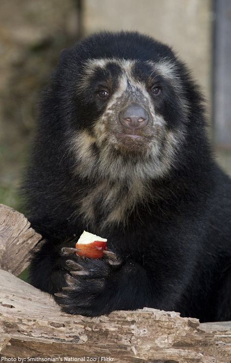 spectacled bear eating fruit