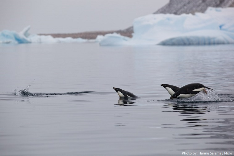 adélie penguins swimming