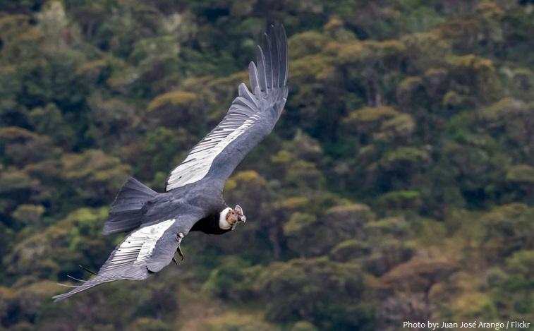 andean-condor-2