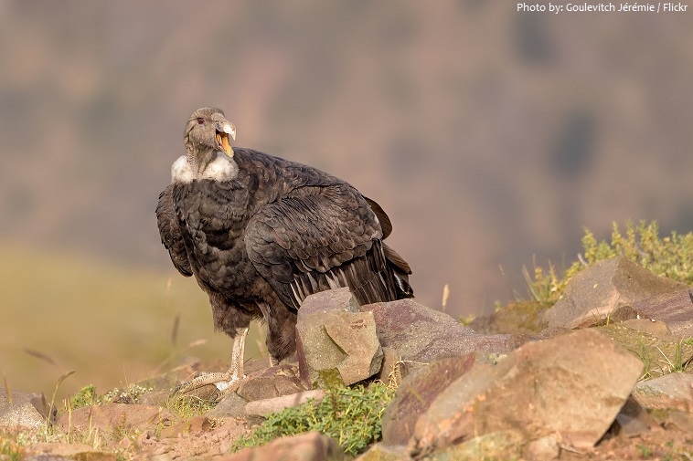 andean condor call