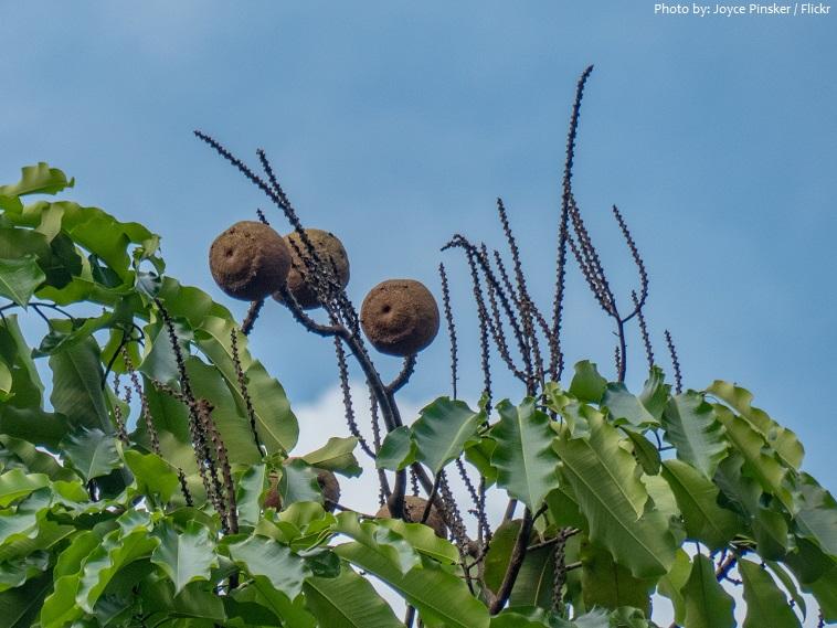 brazil nut tree fruit