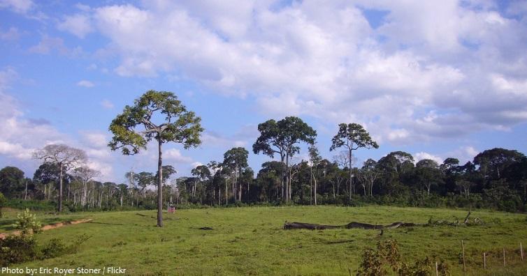 brazil nut trees