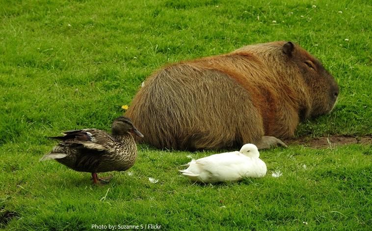 capybara-3