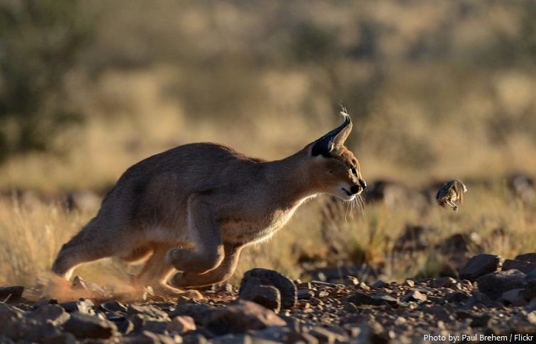 caracal running