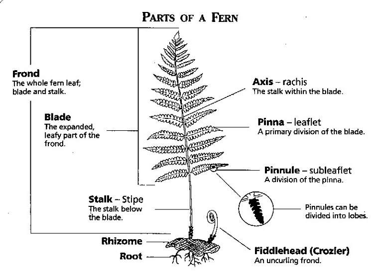 ferns structure