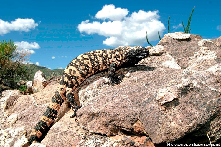 Interesting facts about Gila monsters | Just Fun Facts