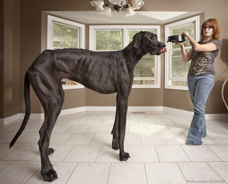 zeus the tallest dog ever
