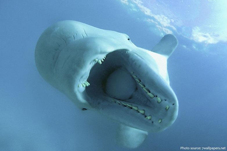 beluga-whale-2