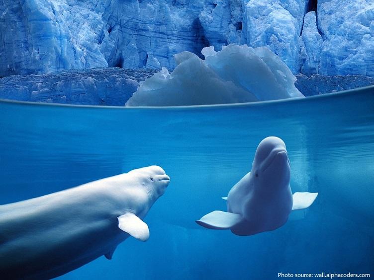 beluga-whales-2