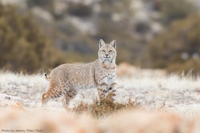 bobcat-3