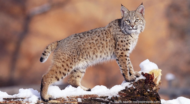 Interesting facts about bobcats | Just Fun Facts