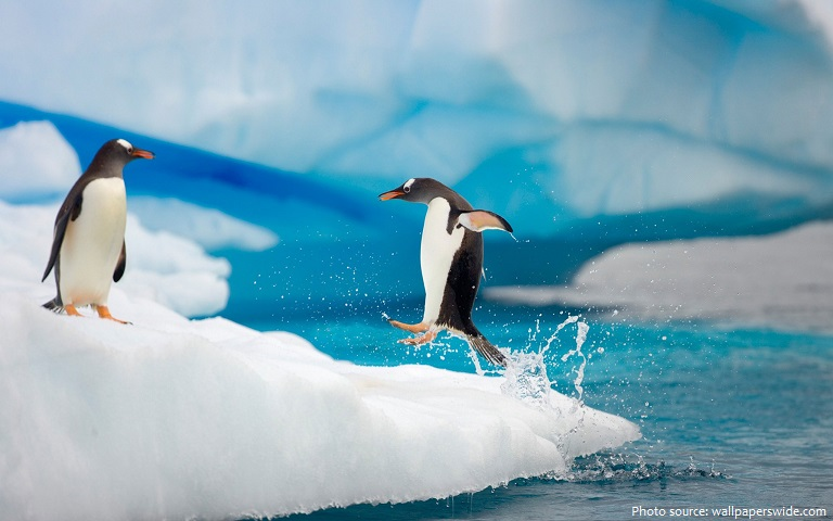 gentoo-penguins-2