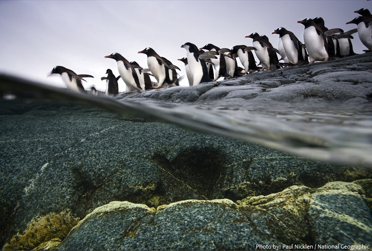 gentoo-penguins-3