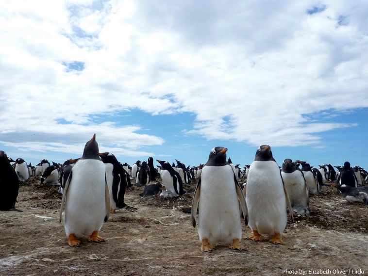 gentoo-penguins-4