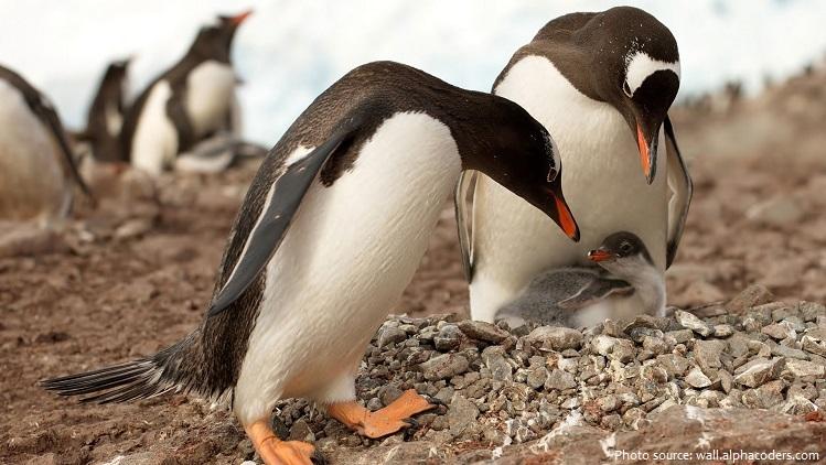 gentoo penguins and chick