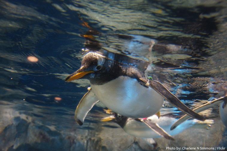 gentoo penguins underwater