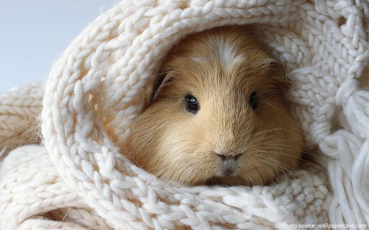 guinea-pig-2