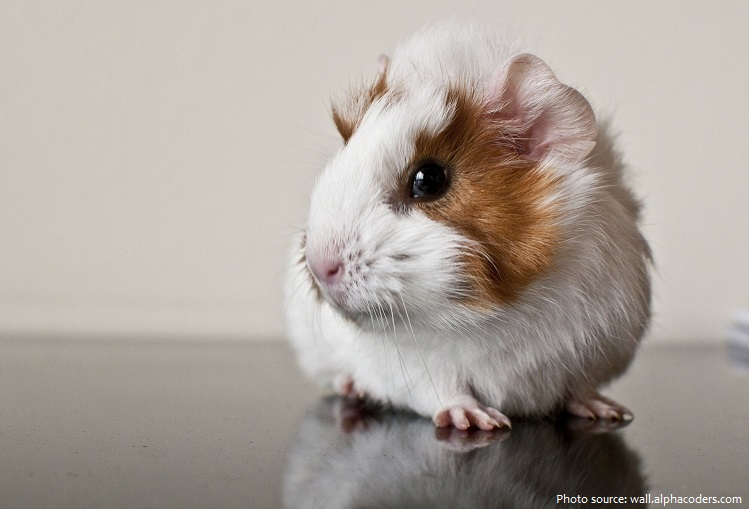 guinea-pig-3