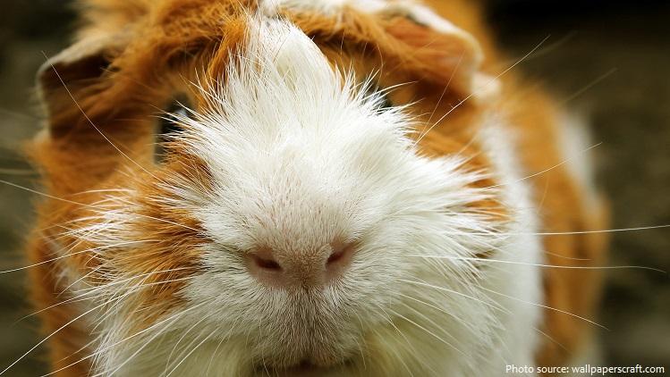 guinea-pig-4