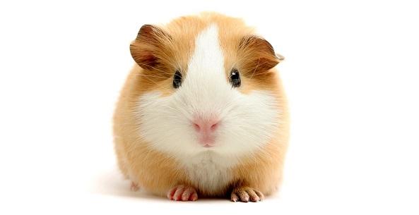 guinea-pig-5