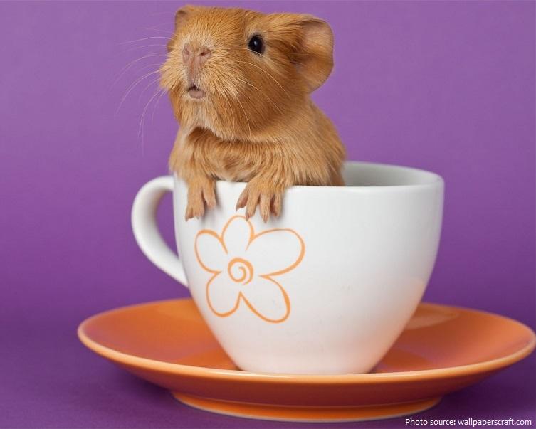 guinea pig pup