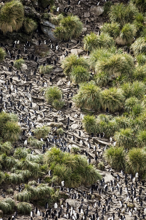 macaroni penguin colony