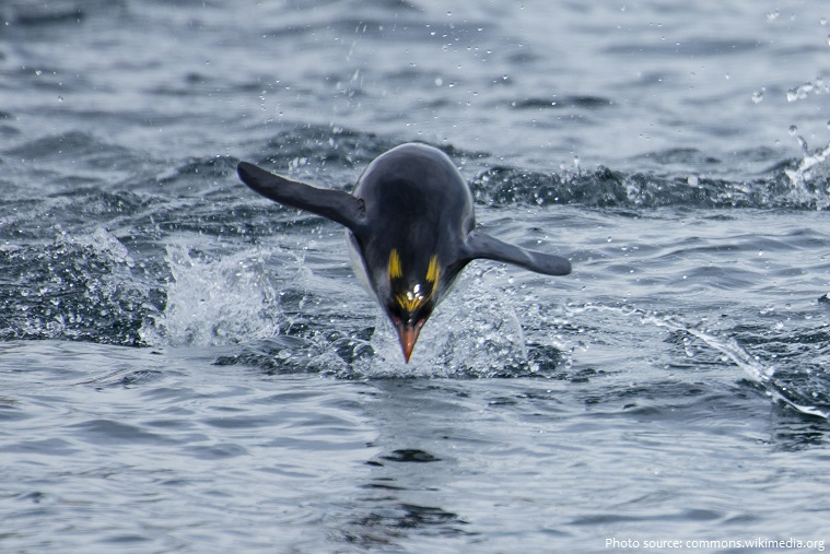 macaroni penguin swimming