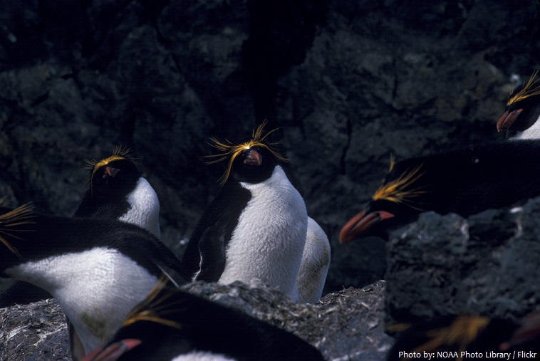 macaroni-penguins-2