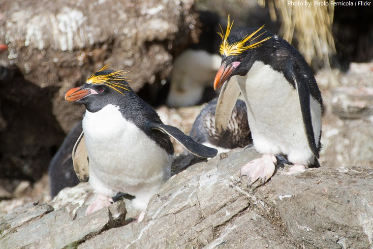 macaroni-penguins-3