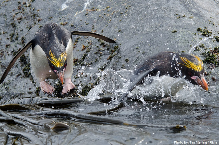 macaroni-penguins-feeding-2