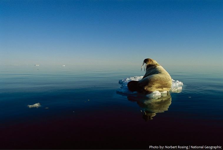 walrus-2