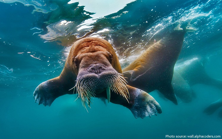 walrus swimming