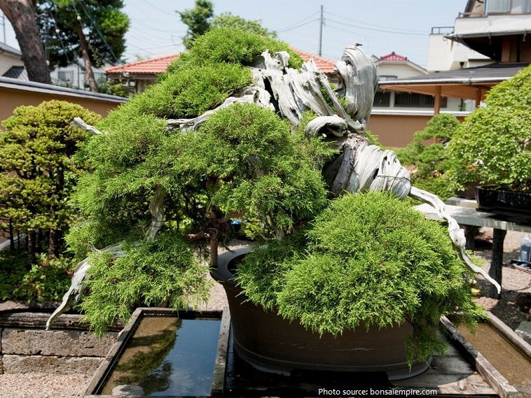 bonsai 1000 years old