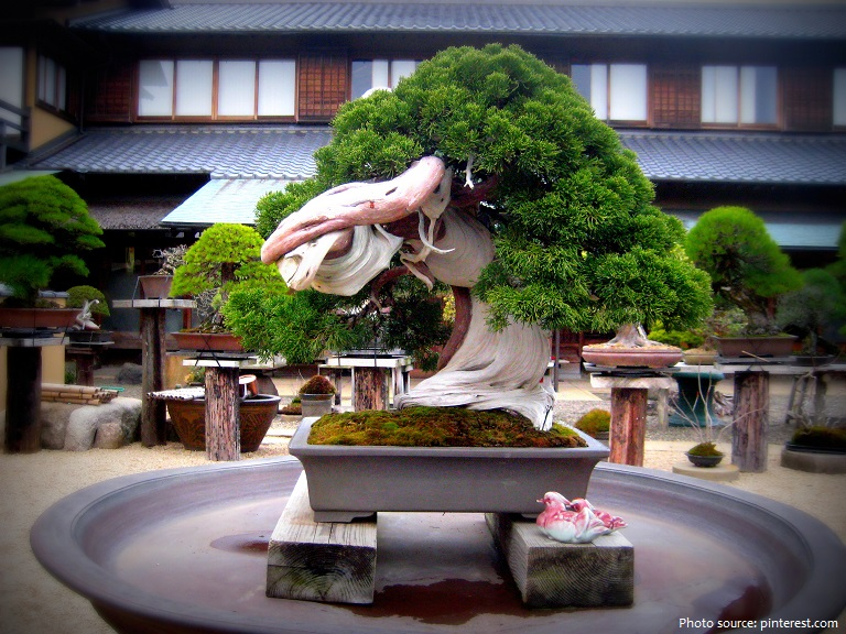 bonsai 800 years old