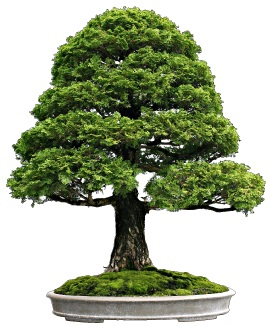 Interesting facts about bonsai just fun facts for 1800 flowers bonsai