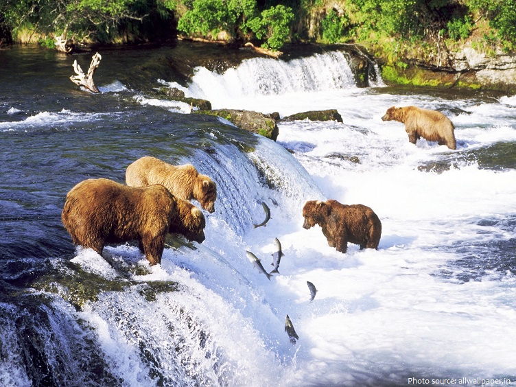 salmon and bears