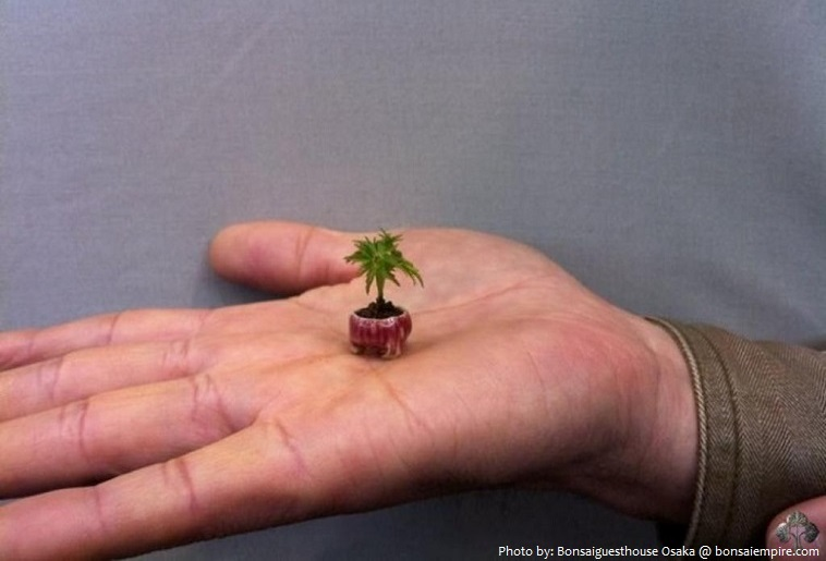 smallest tree in the world