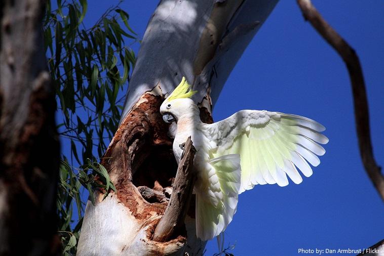 cockatoo nest