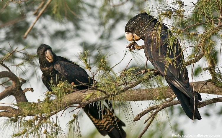 cockatoos eating