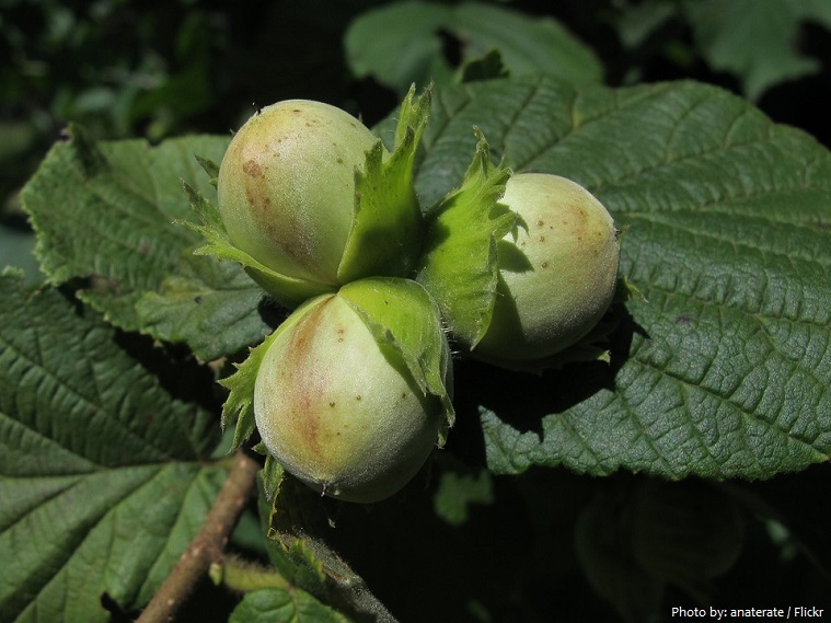 hazelnuts on tree